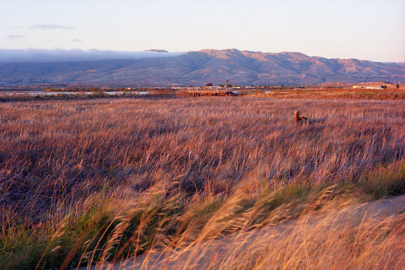 Looking across Alviso wetlands toward the East Bay mountains, a stream of fog flowing in from the left, sunlight touching the mountaintops. Closer, a row of green grasses sets the background for beige-dry grasses waving in the breeze.