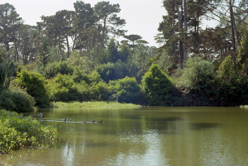 A flotilla of ducks heads out from the cove into the lake itself. A large grove of soft green trees stands out on the far side; and beyond that, the forest of Golden Gate Park.