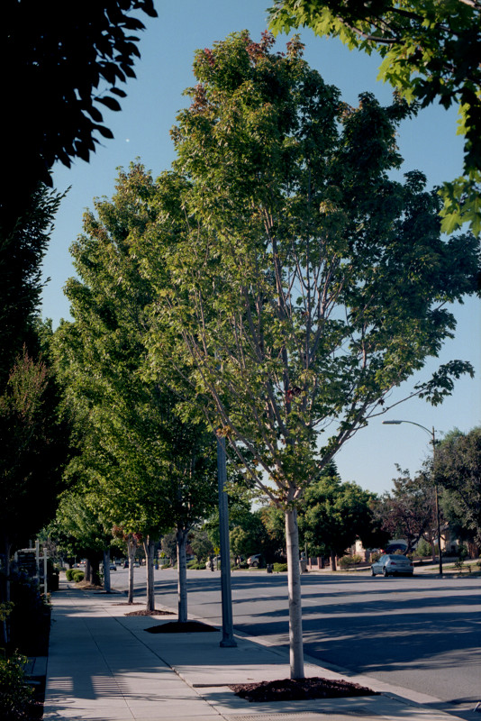 Row of trees streetside along Meridian Avenue