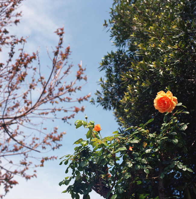 Primavera Sky - Looking up between a peach-colored rose up close and the branches of a tree against the sky