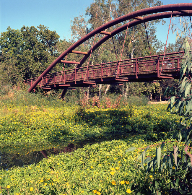 Bridge and wetlands at Vasona Lake Park in July. Here, wetland of green groundcover with little yellow flowers, showing the narrow stream. The bridge seems to be taking off. Background, the forest of the park.