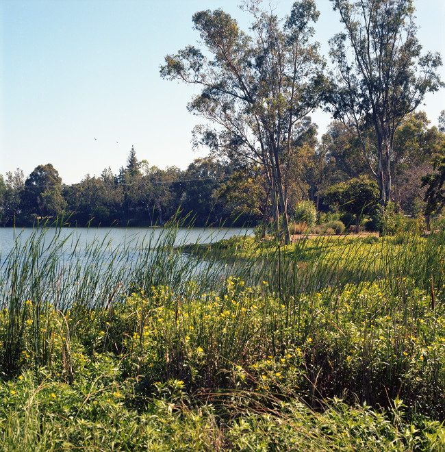 View down the shore of Vasona Lake. Reeds and shore grasses showing in the foreground; middle distance, a little peninsula with several eucalyptus rising from it; far distance, the far shore of the lake and the forest.